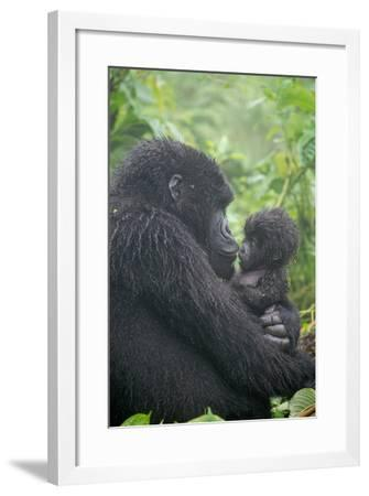 Mountain Gorilla, Gorilla Beringei Beringei, Embracing its Young-Tom Murphy-Framed Photographic Print