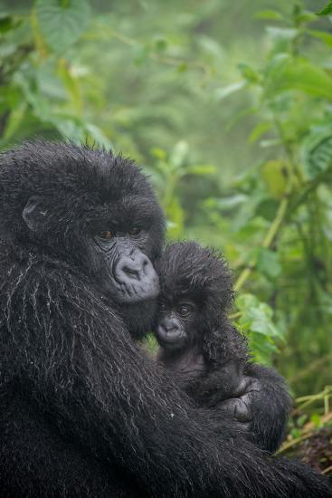Mountain Gorilla, Gorilla Beringei Beringei, Embracing its Young-Tom Murphy-Photographic Print
