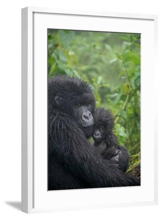 Mountain Gorilla, Gorilla Beringei Beringei, Embracing its Young-Tom Murphy-Framed Photographic Print