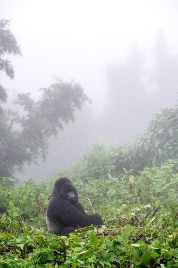 Mountain Gorilla, Gorilla Beringei Beringei, Sitting in Misty Forest-Tom Murphy-Photographic Print