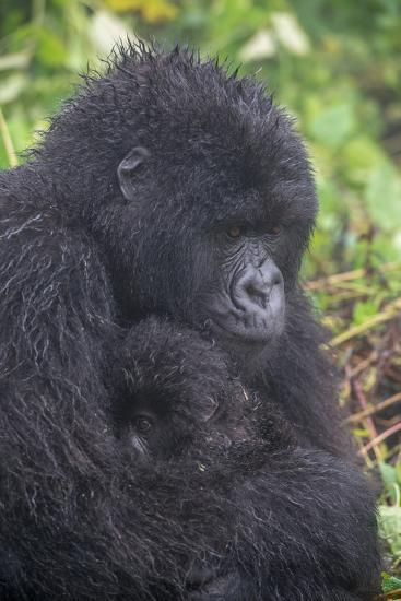 Mountain Gorilla, Gorilla Beringei Beringei, with its Young-Tom Murphy-Photographic Print