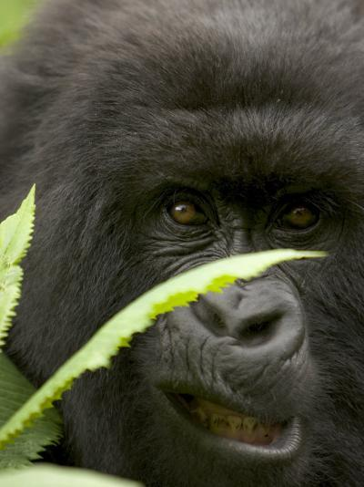 Mountain Gorilla (Gorilla Gorilla Berengei)Showing Teeth, with Leaves-Roy Toft-Photographic Print