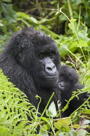 Mountain Gorilla (Gorilla Gorilla Beringei) Mother Holding Baby Twins Age Five Months-Suzi Eszterhas-Photographic Print