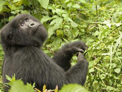 Mountain Gorilla in Volcanoes National Park, Virunga Mountains, Rwanda, Africa-Daniel Schreiber-Photographic Print