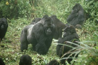 Mountain Gorilla Male Silverback-Adrian Warren-Photographic Print
