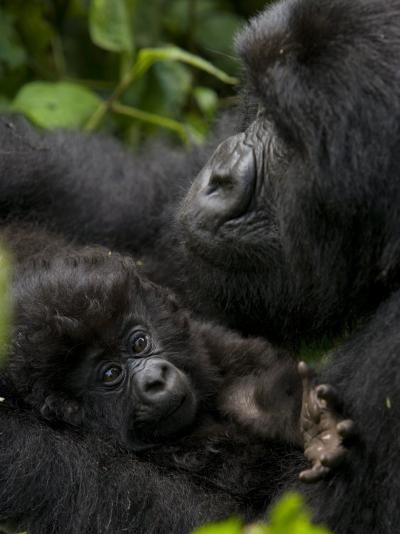 Mountain Gorilla with Her Young Baby, Rwanda, Africa-Milse Thorsten-Photographic Print