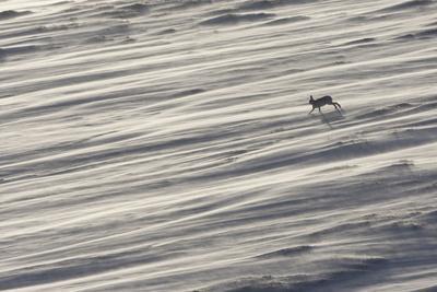 https://imgc.artprintimages.com/img/print/mountain-hare-lepus-timidus-in-winter-coat-running-across-a-snow-field-scotland-uk_u-l-q10o6fo0.jpg?p=0