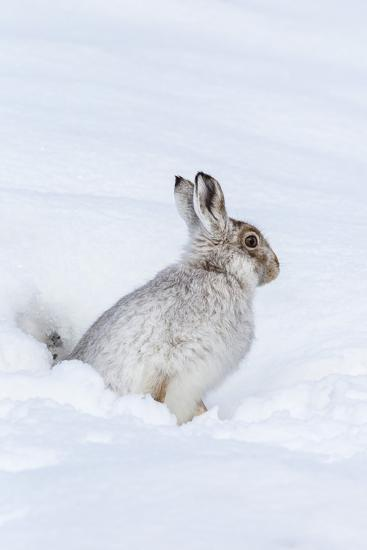 Mountain Hare (Lepus Timidus) in Winter Snow, Scottish Highlands, Scotland, United Kingdom, Europe-Ann & Steve Toon-Photographic Print