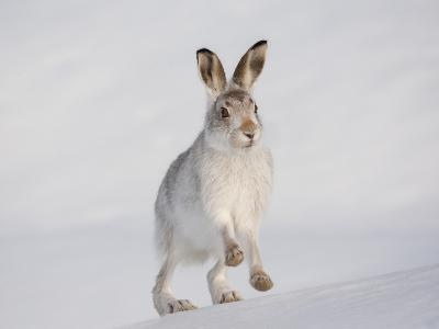 Mountain Hare (Lepus Timidus) Running Up a Snow-Covered Slope, Scotland, UK, February-Mark Hamblin-Photographic Print