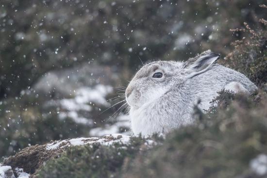 Mountain Hare (Lepus Timidus), Scottish Highlands, Scotland, United Kingdom, Europe-David and Louis Gibbon-Photographic Print