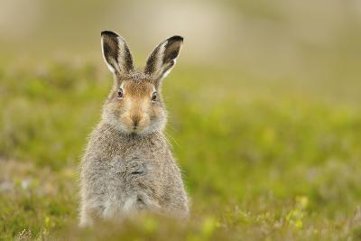 Mountain Hare (Lepus Timidus) Sub-Adult Leveret, Cairngorms National Park, Scotland, UK, July-Fergus Gill-Photographic Print
