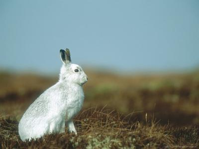 Mountain Hare or Blue Hare, Conspicuous with No Snow, Scotland, UK-Richard Packwood-Photographic Print