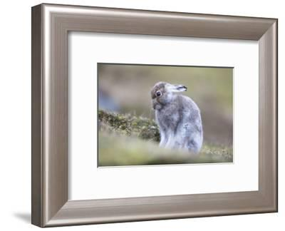 Mountain hare starting to turn to white in Scotland-Sue Demetriou-Framed Photographic Print