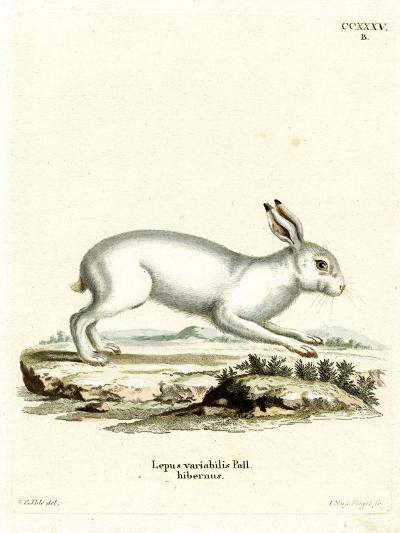 Mountain Hare--Giclee Print