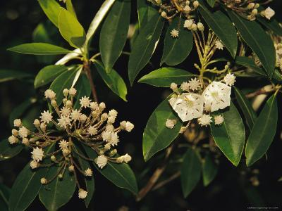 Mountain Laurel in Bloom in Early Morning Light--Photographic Print