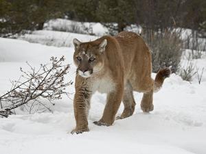 Mountain Lion (Cougar) (Felis Concolor) in Snow in Captivity, Near Bozeman, Montana