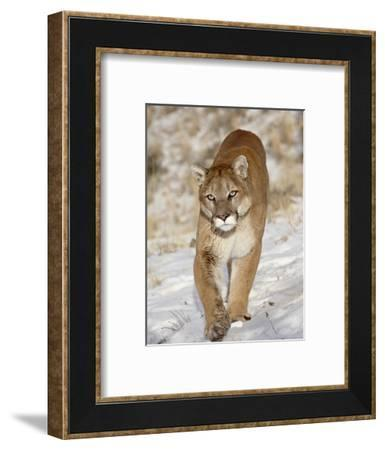Mountain Lion (Cougar) (Felis Concolor) in the Snow, in Captivity, Near Bozeman, Montana, USA-James Hager-Framed Photographic Print