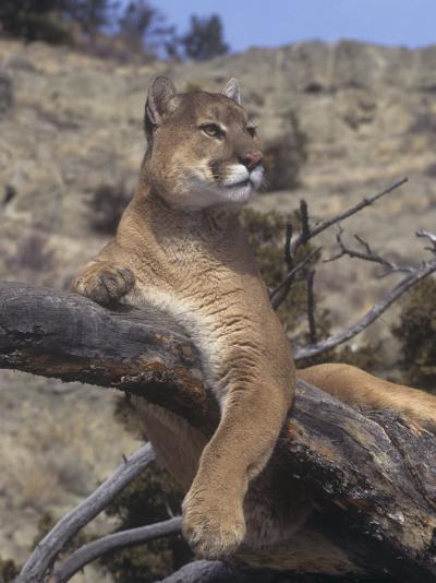 Mountain Lion, Cougar, or Puma (Felis Concolor), Western North America-Tom Walker-Photographic Print