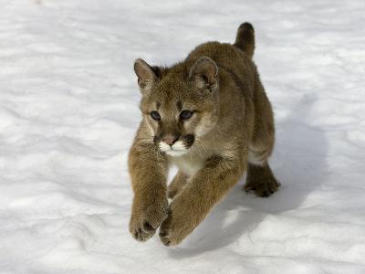 Mountain Lion (Felis Concolor) Cub in the Snow, Kalispell, Montana-Matthias Breiter/Minden Pictures-Photographic Print