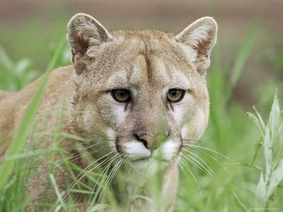 Mountain Lion (Felis Concolor), in Captivity, Sandstone, Minnesota, USA-James Hager-Photographic Print