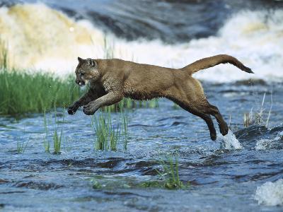 Mountain Lion (Felis Concolor) Leaping across Stream, North America-Konrad Wothe-Photographic Print