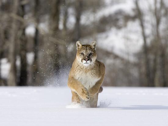 Mountain Lion (Felis Concolor), Running in the Snow, North America-Joe McDonald-Photographic Print
