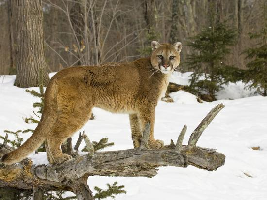Mountain Lion (Felis Concolor) Standing on a Log-Jack Milchanowski-Photographic Print