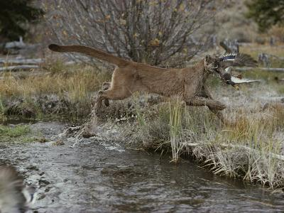 Mountain Lion Hunts a Mallard Duck in a Creek-Jim And Jamie Dutcher-Photographic Print