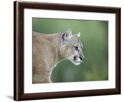 Mountain Lion, in Captivity Sandstone, Minnesota, USA-James Hager-Framed Photographic Print