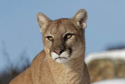 https://imgc.artprintimages.com/img/print/mountain-lion-in-snow-montana-puma-concolor_u-l-q1d1qds0.jpg?p=0