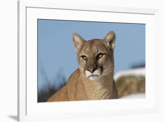 Mountain Lion in snow, Montana. Puma Concolor-Adam Jones-Framed Premium Photographic Print