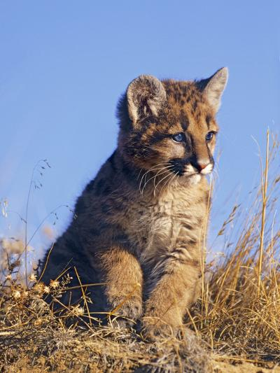 Mountain Lion Kitten, Montana, Usa-Tim Fitzharris-Photographic Print