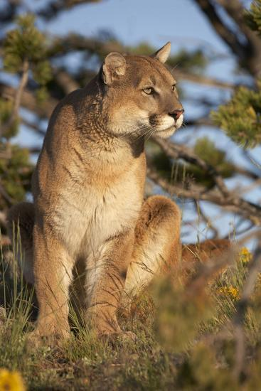 Mountain Lion Looking Off into the Distance, Montana, Usa-Tim Fitzharris-Photographic Print