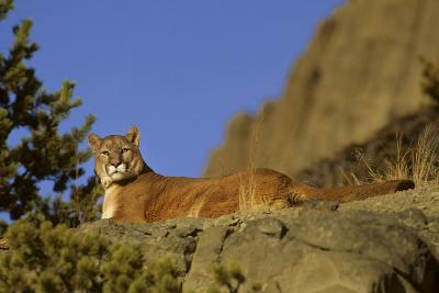 Mountain Lion, Montana-Richard and Susan Day-Photographic Print