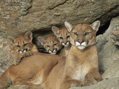 Mountain Lion Mother with Her Young Sits at the Mouth of a Cave-Norbert Rosing-Photographic Print