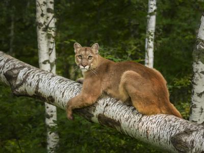https://imgc.artprintimages.com/img/print/mountain-lion-on-forest-log_u-l-q10ph740.jpg?p=0