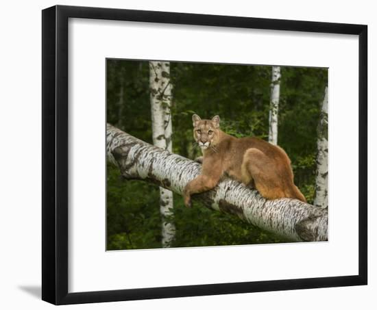 Mountain Lion on Forest Log-Galloimages Online-Framed Photographic Print