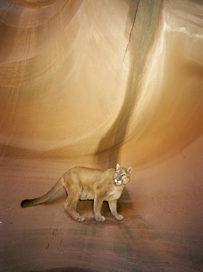 Mountain Lion on Rock Formation-Norbert Rosing-Photographic Print