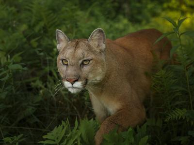 Mountain Lion on the Prowl-Galloimages Online-Photographic Print