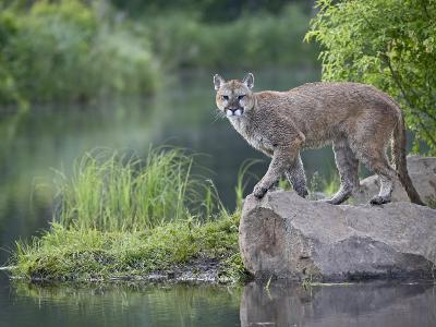 Mountain Lion or Cougar, in Captivity, Sandstone, Minnesota, USA-James Hager-Photographic Print