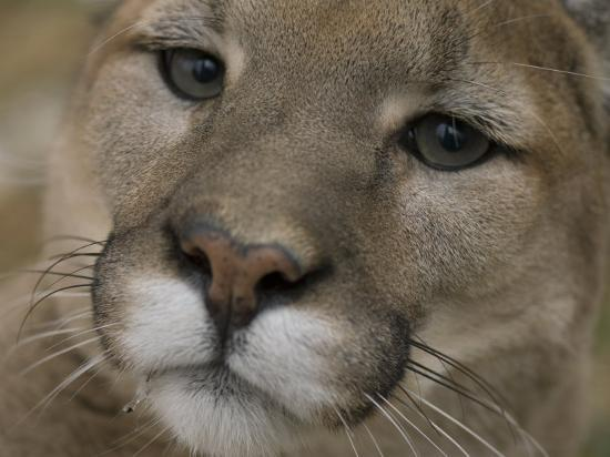 Mountain Lion, or Puma at the Rolling Hills Zoo-Joel Sartore-Photographic Print