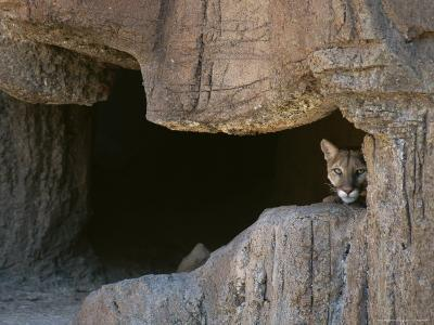 Mountain Lion Peeks Out of a Cave Opening-Tom Murphy-Photographic Print