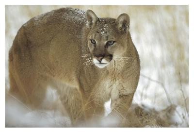 Mountain Lion portrait in winter, Montana-Tim Fitzharris-Art Print