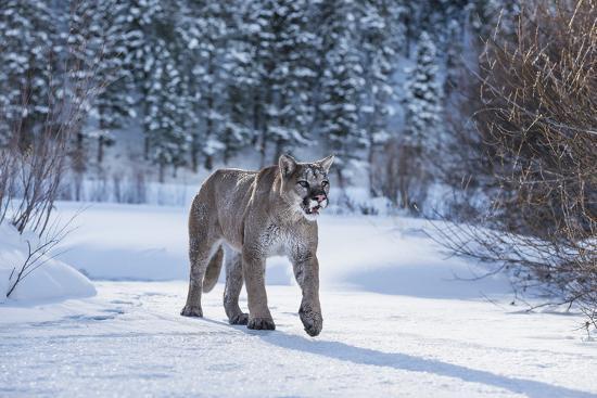 Mountain Lion (Puma) (Cougar) (Puma Concolor), Montana, United States of America, North America-Janette Hil-Photographic Print