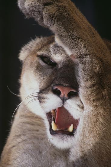 Mountain Lion Rubbing its Face-DLILLC-Photographic Print