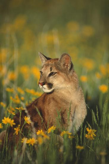 Mountain Lion Sitting in Wildflowers-DLILLC-Photographic Print
