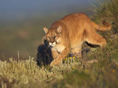 Mountain Lion Stalking Down the Hillside, Montana, Usa-Tim Fitzharris-Photographic Print