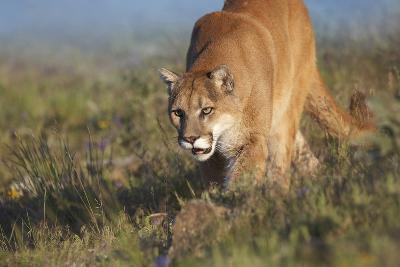 Mountain Lion Walking Down the Hillside, Montana, Usa-Tim Fitzharris-Photographic Print