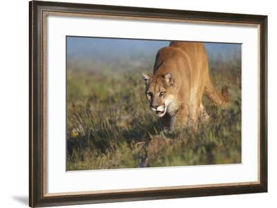 Mountain Lion Walking Down the Hillside, Montana, Usa-Tim Fitzharris-Framed Photographic Print