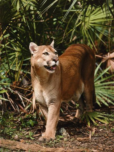 Mountain Lion Walks Through Leaves-Jeff Foott-Photographic Print